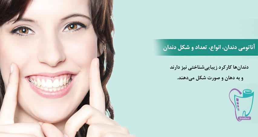 آناتومی دندان، انواع، تعداد و شکل دندان