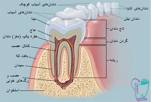 دندان دائمی و شیری  آناتومی دندان   تعداد و شکل دندان