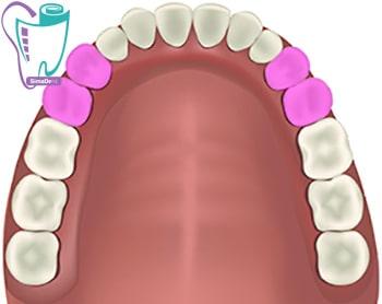 آسیای کوچک و دندان دائمی و شیری |آناتومی دندان | تعداد و شکل دندان