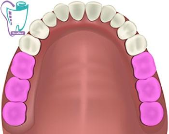 آسیا و دندان دائمی و شیری |آناتومی دندان | تعداد و شکل دندان