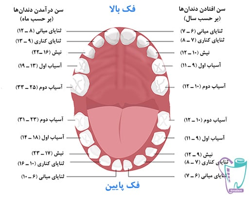 انواع دندان و عملکردهای آنها و دندان دائمی و شیری  آناتومی دندان   تعداد و شکل دندان